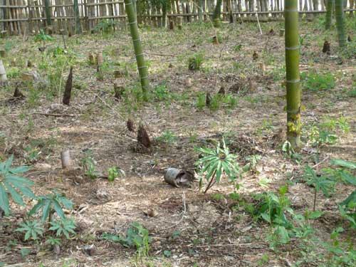 朝のお散歩 竹林
