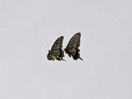 お散歩でアゲハ蝶の飛んだ