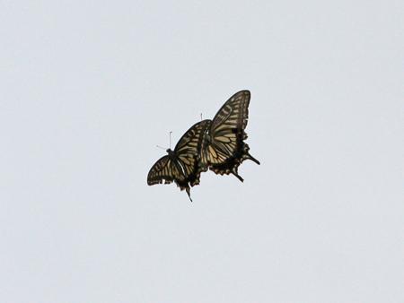 お散歩でアゲハ蝶のカップル