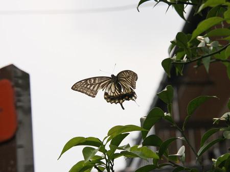 アゲハ蝶 着陸