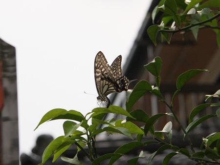 アゲハ蝶 着陸完了