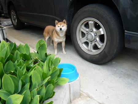 我が家に何故か柴犬
