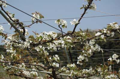 春の花 芝桜1