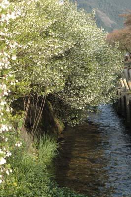 春の花 芝桜5