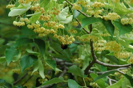 菩提樹の花2