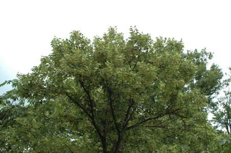 菩提樹の花3