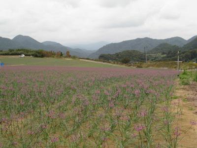 紫の絨毯1