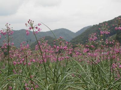 紫の絨毯2