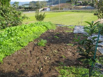 玉ねぎを植える1