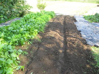 玉ねぎを植える3