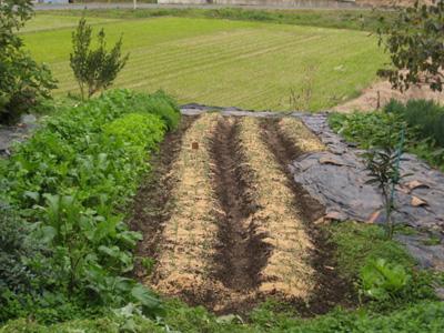 玉ねぎを植える4