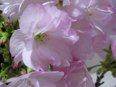 自宅で花見2