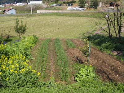 ジャガイモを植えました1