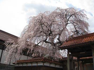 倉吉極楽寺のイトザクラ1