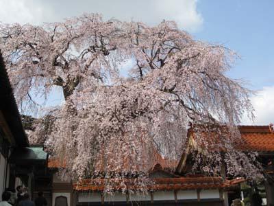 倉吉極楽寺のイトザクラ2