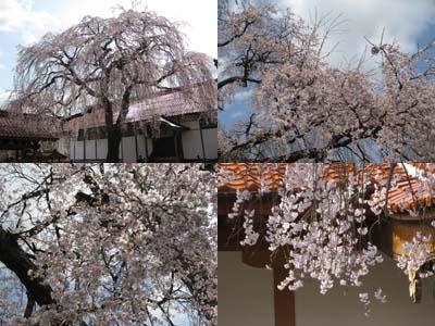 倉吉極楽寺のイトザクラ3