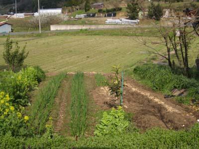 ジャガイモを植えました2