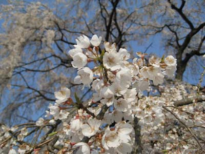 生山の枝垂桜5