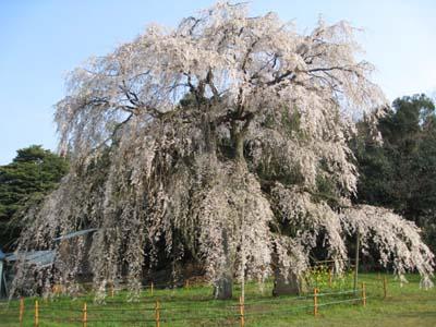 生山の枝垂桜6