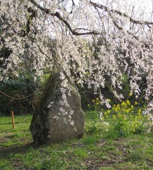 生山の枝垂桜8