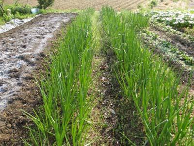 その後の畑1