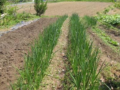 その後の畑2