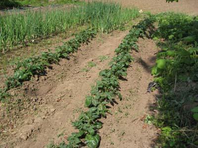 その後の畑4