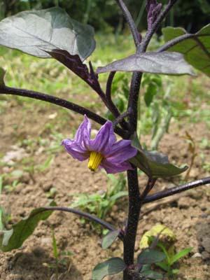 たまねぎを収穫3