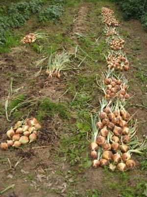 たまねぎを収穫5
