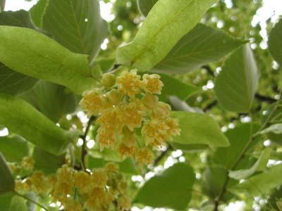 菩提樹の花4