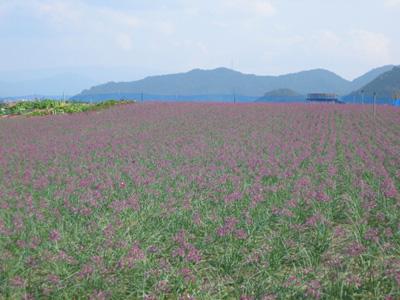 紫の絨毯4