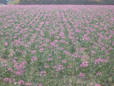 紫の絨毯5