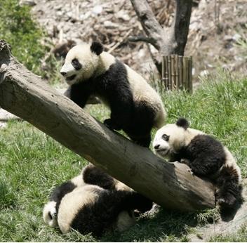 震源地に近い臥竜パンダ保護研究センターで寄り添う生後7~8カ月の赤ちゃんパンダ。後方は地震でできたがけ崩れ