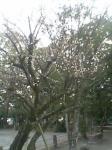 舞鶴城に咲いていたナントカ桜 ソメイヨシノではない