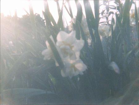 ベイビーホルガ 花