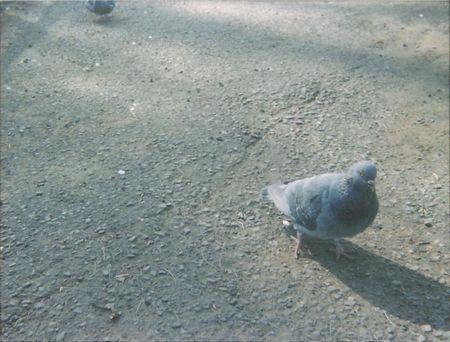ベイビーホルガ 鳩