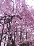 きれいなピンク(*´・д・)(・д・`*)ネー