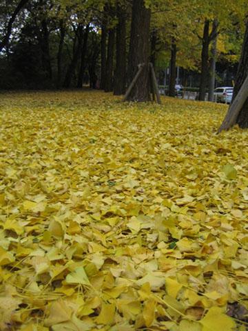 2008.11.29.黄色い絨毯IMG_1873 のコピー
