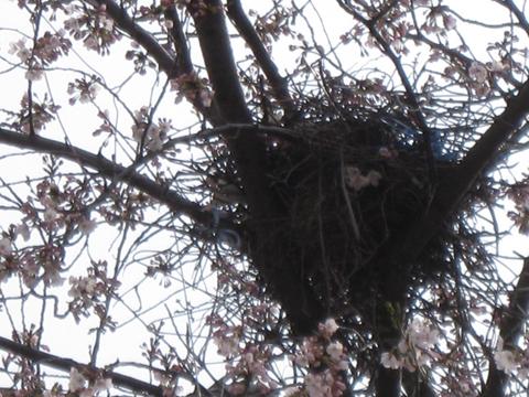 2009.4.  480x鳥の巣アップIMG_0478 のコピー