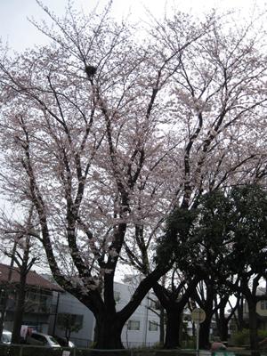 2009.4. 桜の木の鳥の巣全体図IM のコピー