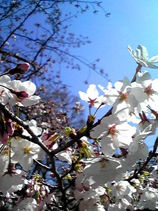 2009.4.桜と風と空とsh0 のコピー