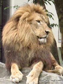 ライオンもこの迫力!