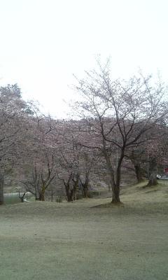 悠久山桜00