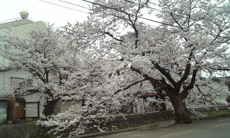 川沿い桜01
