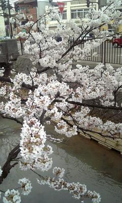 川沿い桜03