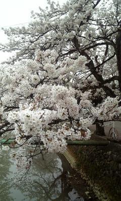 川沿い桜02