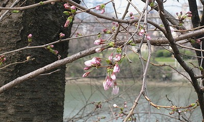 塾舎の前の桜2
