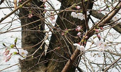 塾舎の前の桜1