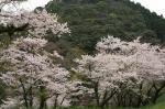 英樹福岡の桜だよ