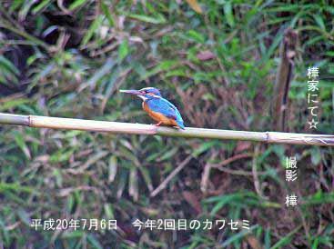 7月6日カワセミ4_edited-1